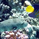 Снорклинг в первый раз: рыбы Красного моря