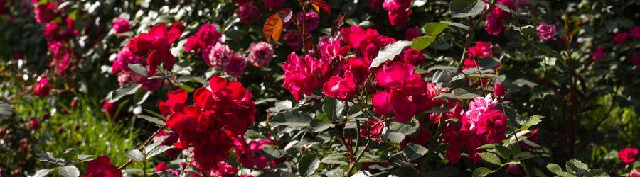 Большой розарий в парке Сокольники