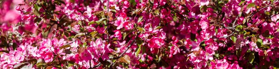 Цветение яблонь в Коломенском